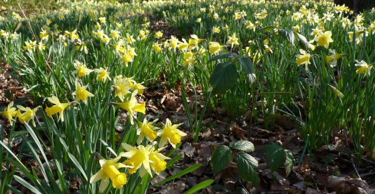 Daffodils near Whitebrook